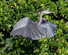 Great Blue Heron Mangrove Takeoff (dbadair) Tags: outdoor seaside dennis adair shore sea sky water nature wildlife 7dm2 7d ii ef100400mm ocean canon florida bird