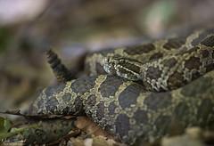 Eastern Massasauga Rattlesnake (Nick Scobel) Tags: eastern massasauga rattlesnake sistrurus catenatus michigan rattler venomous snake pit viper scales coiled defensive forest floor leaves autumn fall