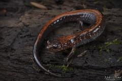 Red-backed Salamander (Nick Scobel) Tags: eastern redback redbacked salamander plethodon cinereus michigan caudata amphibian slimy texture skin wet forest floor secretive