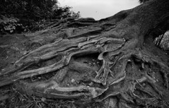 Has anyone seen my eye glasses? (romeos115) Tags: glasses tree monochrome bw spectacles nature roots lost