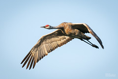Lesser Sandhill Crane (Grus canadensis canadensis) (Don Dunning) Tags: antigonecanadensis birds california canon7dmarkii canonef100400mmisiiusm crane flight gruscanadensiscanadensis lesssersandhillcrane merced mercednwr nationalwildliferefuge sandhillcrane