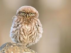 little one (davy ren2) Tags: little owl photograthy nature
