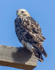 Rough-legged hawk (Peter Stahl Photography) Tags: roughleggedhawk hawk migration