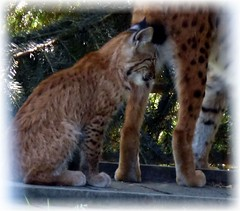 Junger Luchs / Young Lynx (ursula.valtiner) Tags: nature tier luchs lynx styria austria autriche natur animal junges youngonewildpark wildlifepark derwildeberg mautern steiermark österreich