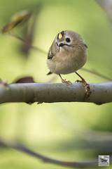 Goldcrest (Regulus regulus)_w_6293 (Daly Wildlife) Tags: goldcrest regulusregulus kinglet european tiny fast resident woodlands parks gardens germany