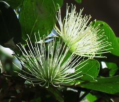 Wild Flowers (Pixi2011) Tags: wildflowers krugernationalpark southafrica africa nature flowers flora macromonday