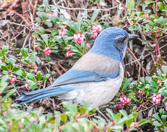 Natural Blue. (Omygodtom) Tags: blue red usgs scrubjay wildlife nikkor nikon70300mmvrlens natural d7100 outside riverplace diamond