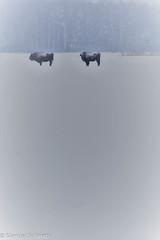 Ice age survivors (The Little Window) Tags: bisonte bison european poland bialowieza wildlife nature snow winter white mammals mamífero