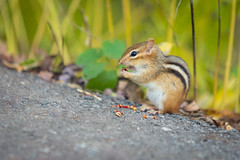 Chipmunk (A Great Capture) Tags: agreatcapture agc wwwagreatcapturecom adjm ash2276 ashleylduffus ald mobilejay jamesmitchell toronto on ontario canada canadian photographer northamerica torontoexplore fall autumn automne herbst autunno otoño cirtter chipmunk eating rodent path evergreen brickworks donvalley