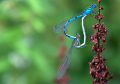Mating Damselflies (Tony Worrall) Tags: nature natural outside wild wildlife lancashire new cute but sell sale bought stock item forsalr ilobsterit park instagram english british country countryside location creature mating damselflies sex small insect macro miny tiny reproduce blue