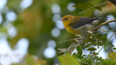 Young Prothonotary Warbler (U.S. Fish and Wildlife Service - Midwest Region) Tags: bird birding warbler animal nature wildlife may 2017 spring summer