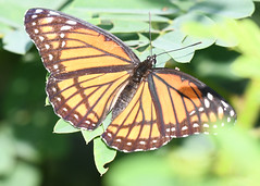 Viceroy Butterfly (U.S. Fish and Wildlife Service - Midwest Region) Tags: bird birding viceroy butterfly insect pollinator animal nature wildlife