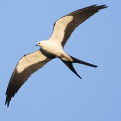 Swallow-tailed Kite (U.S. Fish and Wildlife Service - Midwest Region) Tags: bird birding kite animal nature wildlife