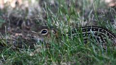 Thirteen-lined Ground Squirrel (U.S. Fish and Wildlife Service - Midwest Region) Tags: squirrel animal nature wildlife