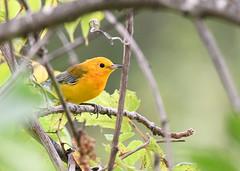 Prothonotary Warbler (U.S. Fish and Wildlife Service - Midwest Region) Tags: bird birding warbler animal nature wildlife