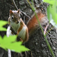 Red Squirrel (U.S. Fish and Wildlife Service - Midwest Region) Tags: squirrel redsquirrel animal nature wildlife