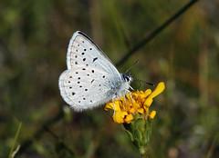 Greenish Blue (Plebejus saepiolus) (Ron Wolf) Tags: greenishblue lepidoptera lycaenidae nationalpark plebejussaepiolus sierra tuolumnemeadows yosemitenationalpark butterfly insect meadow nature wildlife california