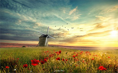 Poppies in the wind (Jean-Michel Priaux) Tags: paysage nature landscape flowers poppies mill colors lonely alone lonesome wind meadow sunset sky paint painting spring