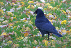 Crow in the leaves (Tony Worrall) Tags: nature natural outside wild wildlife lancashire new cute but sell sale bought stock item forsalr ilobsterit park instagram english british country countryside location creature crow blackbird bird leaves autumn