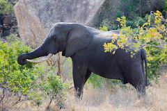 (piper969) Tags: elephant elefante animal animale pachiderma kruger parcokruger sudafrica southafrica krugernationalpark savana nature natura