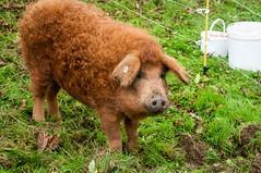 Ariège en bio (PierreG_09) Tags: ariège occitanie midipyrénées labastidedesérou foire marché bio biologique manitestation mangalitza cochon porc