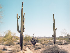 Cacti (Boris Capman) Tags: 645 bronica etrs portra160 cactus cacti landscape scenery desert sonoran nationalpark nature outdoor outside filmisnotdead filmphotography 120film analog argentique mediumformat arizona phoenix