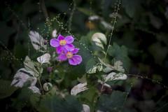 Anemone hupehensis (ai3310X) Tags: carlzeiss ycontax planar t1450 シュウメイギク 秋明菊