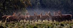 Oh Deer its Raining! (Mike Blythe) Tags: deer naturalhistory rain studleyroyal unitedkingdom