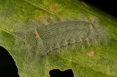 "Stinging Nettle Slug Caterpillar (Cup Moth, Limacodidae) ""Icicle"" (John Horstman (itchydogimages, SINOBUG)) Tags: insect macro china yunnan itchydogimages sinobug entomology canon cup moth lepidoptera limacodidae stinging nettle slug caterpillar larva green icicle fbl tweet tumblr"