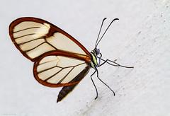 Glasswing... (Glenn van Windt) Tags: gretaoto glasswingedbutterfly glasvleugelvlinder lepidopterarhopalocera butterfly vlinder tropicalbutterfly insect closeup macro vlindertuin butterflygarden artiszoo nature natuur sigma180mm128apomacrodghsm