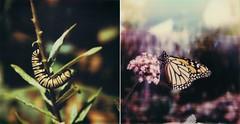 metamorphosis - a diptych (buttercup caren) Tags: butterfly polaroid slr680 polaroidweek roidweek polaroidoriginals diptych caterpillar beforeandafter metamorphosis