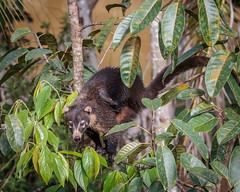 White-faced Coati