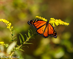End of September (mghornak) Tags: monarchbutterfly monarch butterfly insect canon canoneos7dmarkii september2019 hammonassetbeachstatepark madisonconnecticut