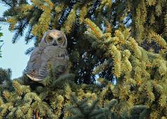 Great Horned Owlet...#2 (Guy Lichter Photography - 5.2M views Thank you) Tags: canon 5d3 canada manitoba winnipeg wildlife animal animals bird birds owl owls greathornedowl owlet