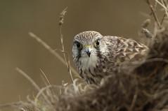 Kestrel (Falco tinnunculus) (Fly~catcher) Tags: falco tinnunculus kestrel bird prey cliff edge