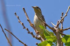 Wryneck (Jynx Torquilla)_w0261 (Daly Wildlife) Tags: wryneck jynxtorquilla portugal migration woodpecker migrantwoodpecker iberia
