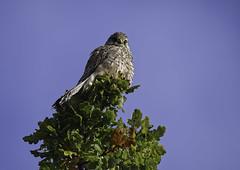 Kestrel (Simon Bree) Tags: bird wild kestrel tree