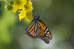 Butterfly 2019-160 (michaelramsdell1967) Tags: butterfly butterflies nature macro animal animals insect insects monarch monarchs green yellow orange black beauty beautiful pretty lovely upclose closeup bokeh vivid vibrant detail delicate fragile wildlife garden meadow zen