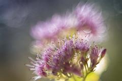 Fall blooming (bresciano.carla) Tags: pentax50mm17 pentaxk1 vintagelens autumn flowers pink light nature pentaxart