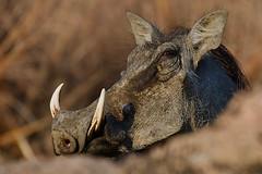 an unexpected and close encounter (cirdantravels (Fons Buts)) Tags: kafue nationalpark zambia zambiawildlife zambiasafari kaingusafarilodge cirdantravels fonsbuts wildlife wildlifephotography natur natuur nature naturalhabitat wildanimal