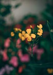 P1020555 (rozenn.rgr) Tags: lumixgx80 lumixgx85 lumix lumixg panasonic panasoniclenses 1235mmf28 1235mm night nature sunset flower flowers smoke steam m43 micro43 43 hybride
