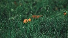 P1020574 (rozenn.rgr) Tags: lumixgx80 lumixgx85 lumix lumixg panasonic panasoniclenses 1235mmf28 1235mm night nature sunset flower flowers smoke steam m43 micro43 43 hybride