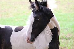 Sweet  Beauty  Lou  Lou (excellentzebu1050) Tags: foal horse livestock animal animalportraits farm field outdoor coth coth5