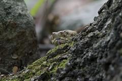 Timber Rattlesnake (U.S. Fish and Wildlife Service - Midwest Region) Tags: snake reptile rattlesnake timberrattlesnake animal nature wildlife