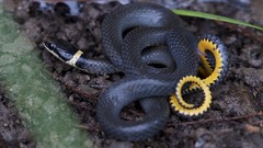 Ring-necked Snake (U.S. Fish and Wildlife Service - Midwest Region) Tags: snake reptile ringneckedsnake animal nature wildlife