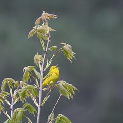 Yellow Warbler (U.S. Fish and Wildlife Service - Midwest Region) Tags: bird birding warbler animal nature wildlife