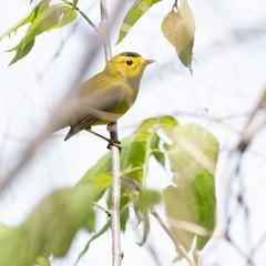 Wilson's Warbler (U.S. Fish and Wildlife Service - Midwest Region) Tags: bird birding warbler animal nature wildlife