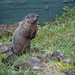 Groundhog (U.S. Fish and Wildlife Service - Midwest Region) Tags: groundhog mammal animal nature wildlife
