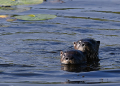 River Otters (U.S. Fish and Wildlife Service - Midwest Region) Tags: otter riverotter mammal animal nature wildlife