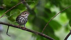 Ovenbird (U.S. Fish and Wildlife Service - Midwest Region) Tags: bird birding ovenbird animal nature wildlife